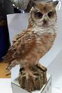 Medium Horned Owl