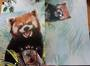 Red Panda Card and Envelope